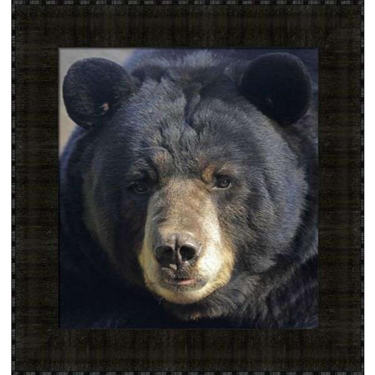 Gentle Stare Black Bear Framed Print